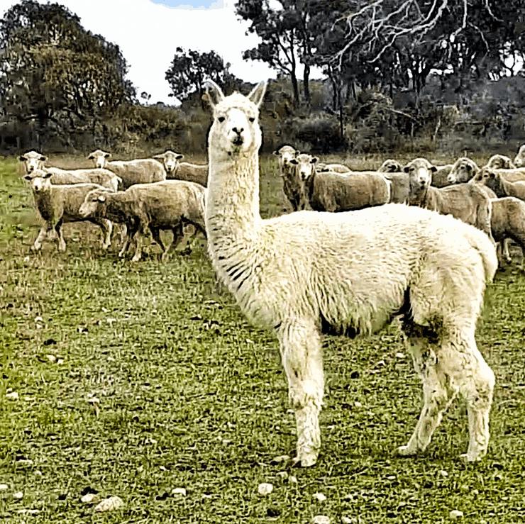 Alpaca guarding sheep, WA, Australia